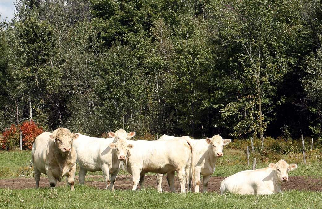 Rapport de la vente de dispersion du troupeau de Ranch Ostiguy Charolais